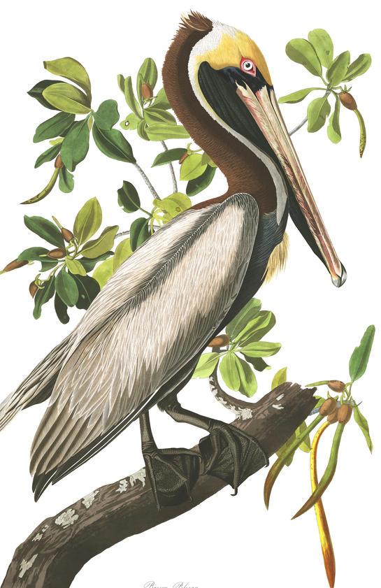 545x841 Brown Pelican John James Audubon's Birds Of America