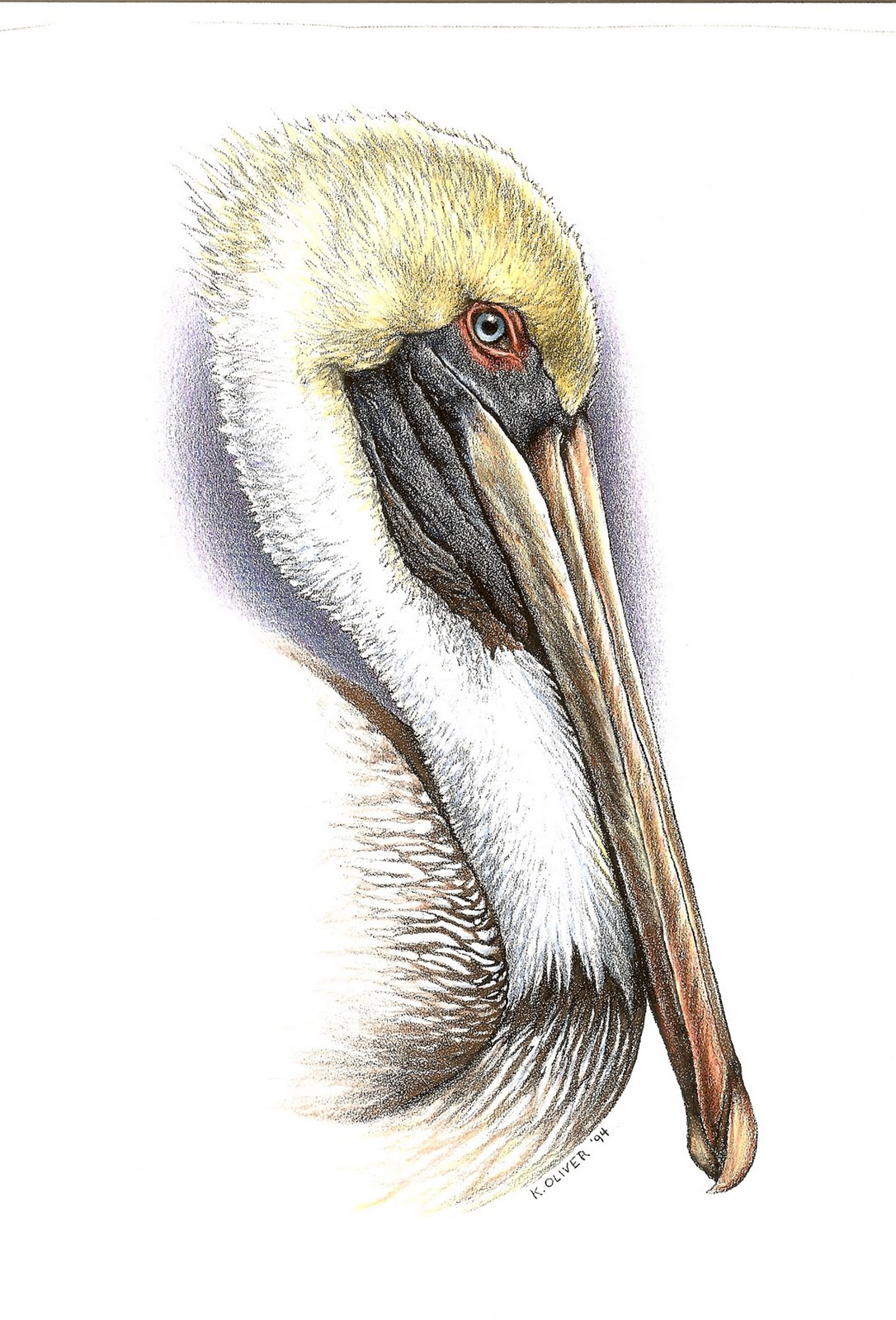 1086x1600 Brown Pelican Color Pencil Kenny Oliver's Art