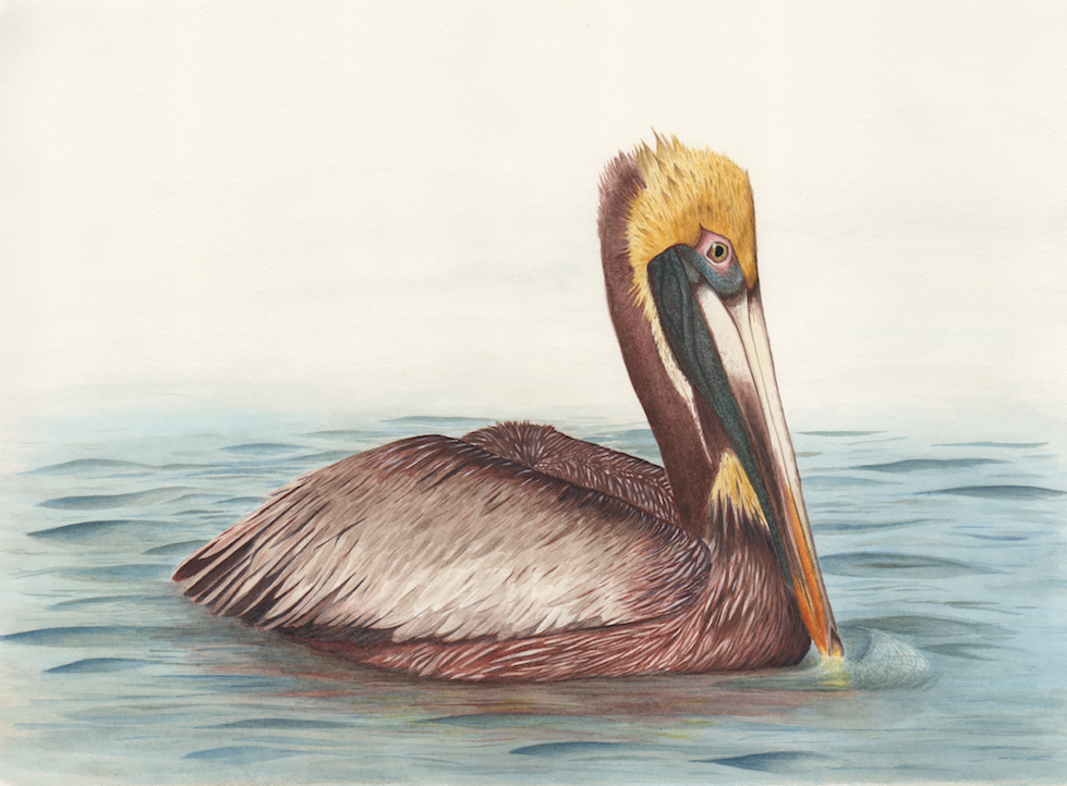 979x722 Brown Pelican Limited Edition Print With Mat Nora Sherwood