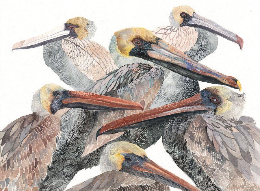 900x661 Brown Pelicans