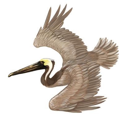 400x381 Cincinnati Illustrators Blog Outer Bank Birds