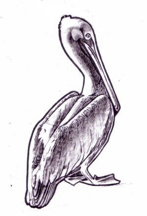 300x442 Free Printable Pelican Drawing. Printables Free
