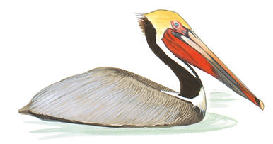 386x203 Good News For The Brown Pelican Audubon Florida