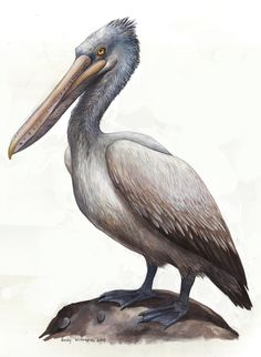 236x322 Brown Pelican Drawing