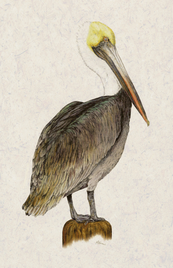 600x927 Pelican Drawings Add To Collection Pelican