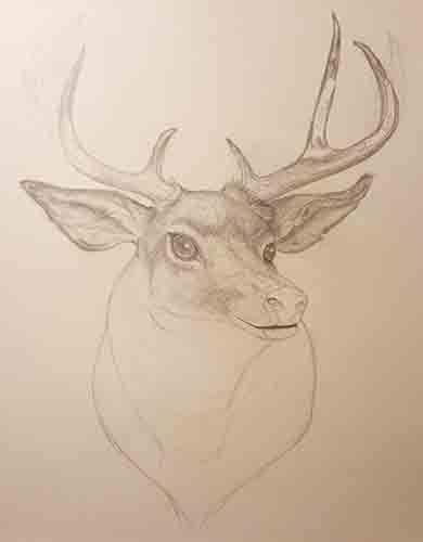 390x500 Buck Drawing
