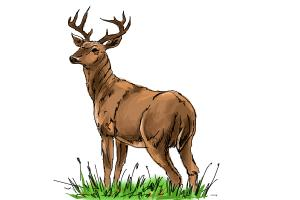 300x200 How To Draw A Buck
