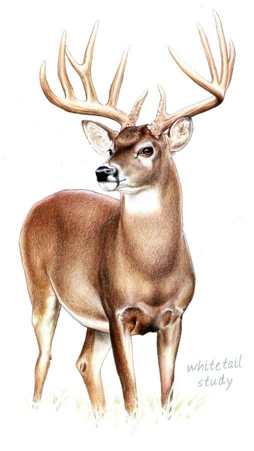 507x900 Image Result For Deer Line Drawing Doe Wood Burning Ideas