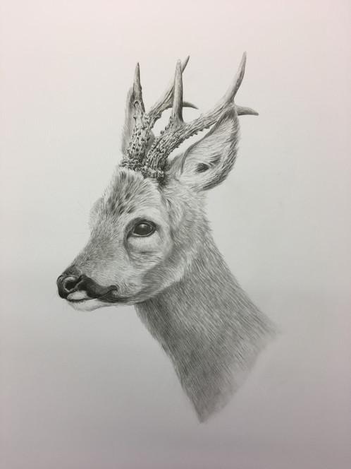 498x664 Roe Buck Pencil Drawing Teresa Davis Sporting And Wildlife Artist