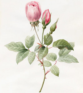 266x300 Rose Bud Drawings Fine Art America