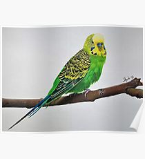 210x230 Budgie Drawing Posters Redbubble