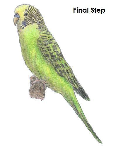386x500 Budgie Parakeet Drawing Drawing Parakeets, Drawing