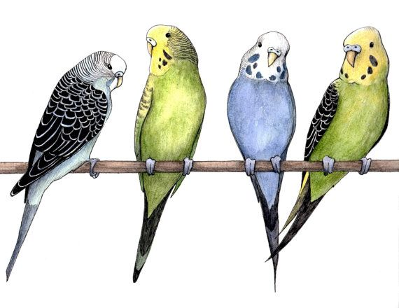 570x440 Colorful Budgie Parakeet Bird Drawing Ink Amp Watercolor Print Pet