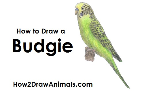 500x315 How To Draw A Budgie (Parakeet)
