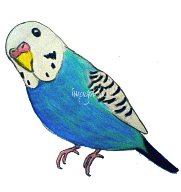 613x650 Parakeet Drawing By Phoebe Hawthorne