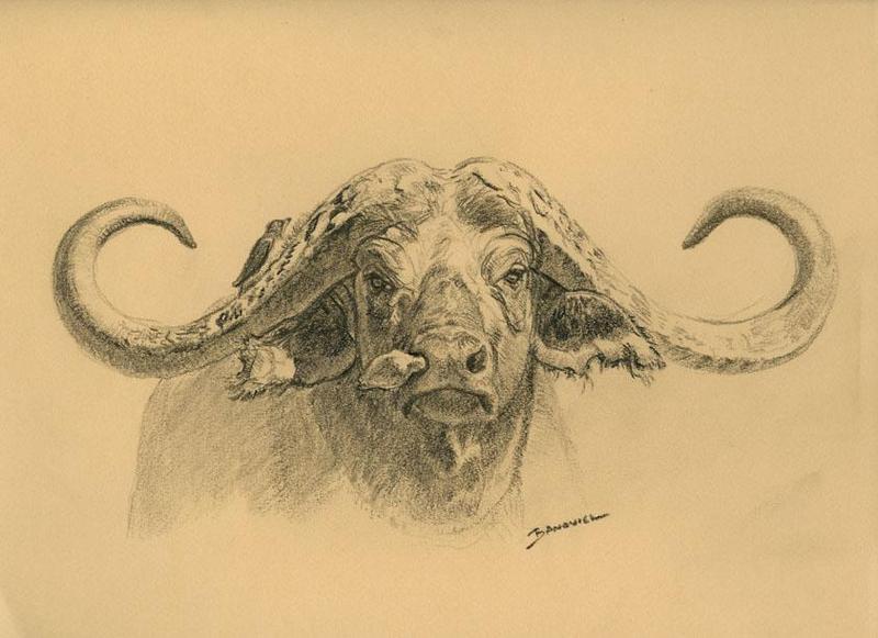 800x581 Buffalo By John Banovich, Graphite Sketch John Banovich