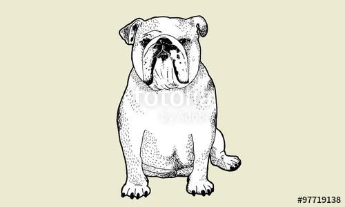 500x300 English Bulldog Pen And Ink Drawing Stock Image And Royalty Free