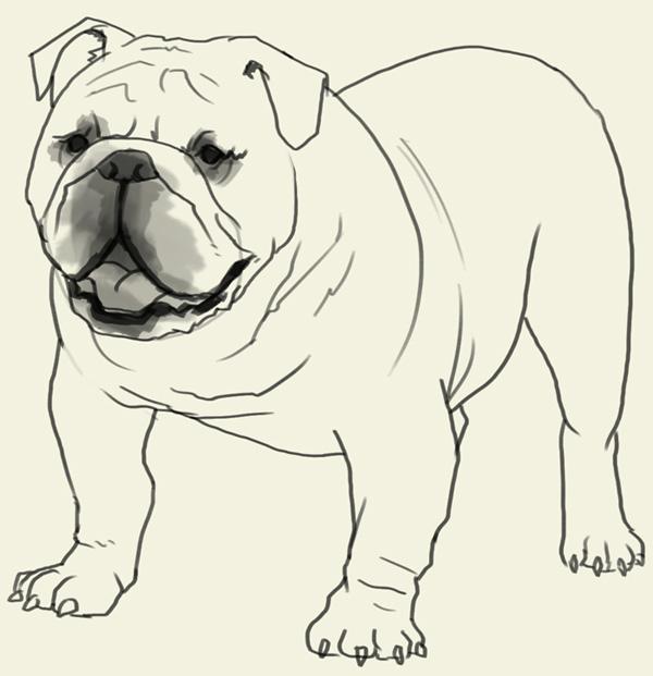 600x621 How To Draw Bulldog