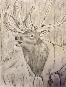 229x300 Bull Elk Drawings