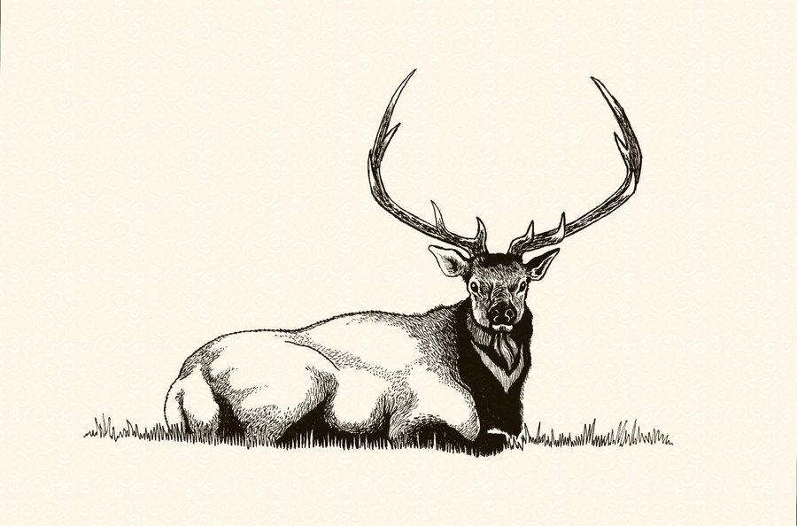 900x594 Bull Elk In Repose' By Tadashi Station