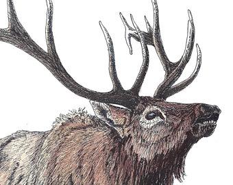 340x270 Bull Elk Drawing Etsy