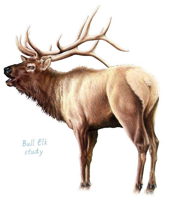 Bull Elk Drawing at GetDrawings | Free download