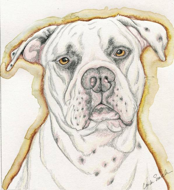 597x650 Stunning American Bulldog Drawings And Illustrations For Sale