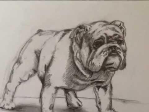 480x360 Bulldog Drawing
