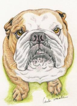 255x350 English Bulldog Drawing By Carla Smale