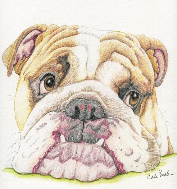 570x608 English Bulldog Limited Print From Drawing Dog Art Carla Smale