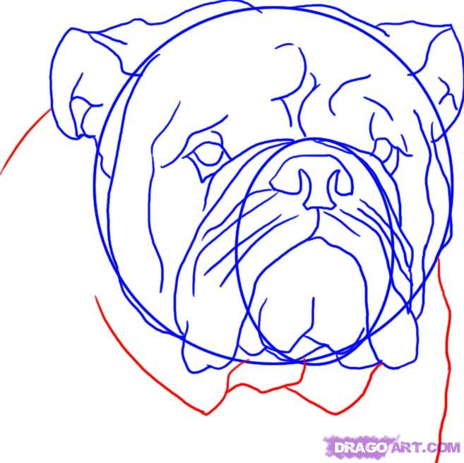 657x656 How To Draw An English Bulldog Step 7 English Bulldogs