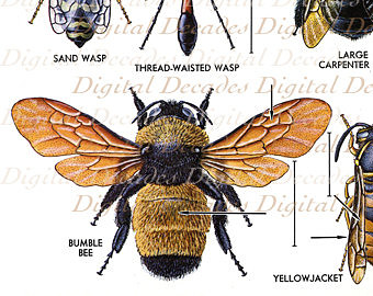 Bumble bee scientific drawing at getdrawings free for personal 340x270 bee illustration vintage scientific ccuart Images
