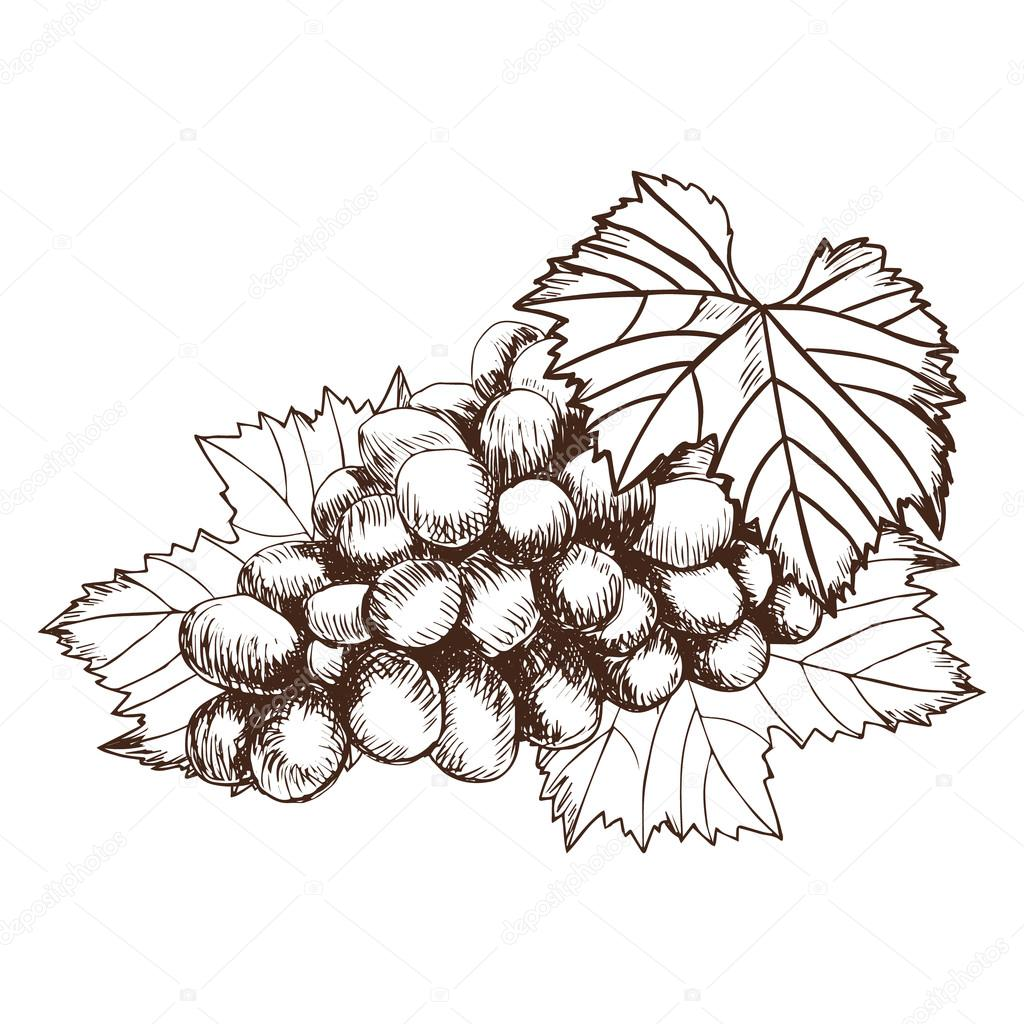1024x1024 Bunch Of Grapes Sketch Style Vector Illustration. Old Engraving