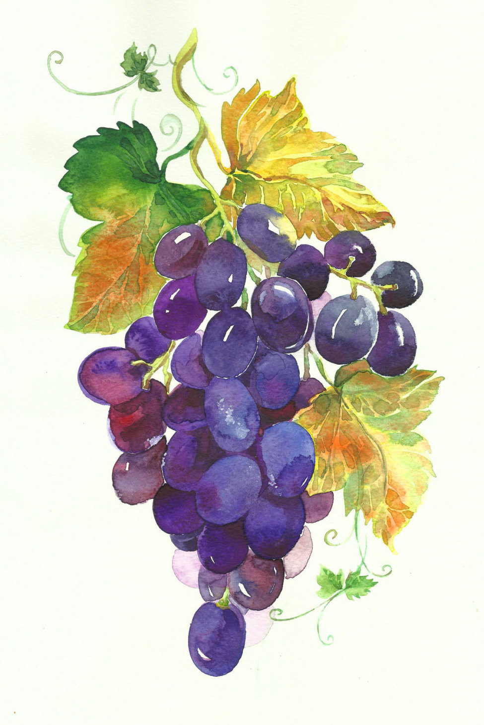 975x1459 Clipart Watercolour Grapes, Grapes Green, Grapes Black, Digital