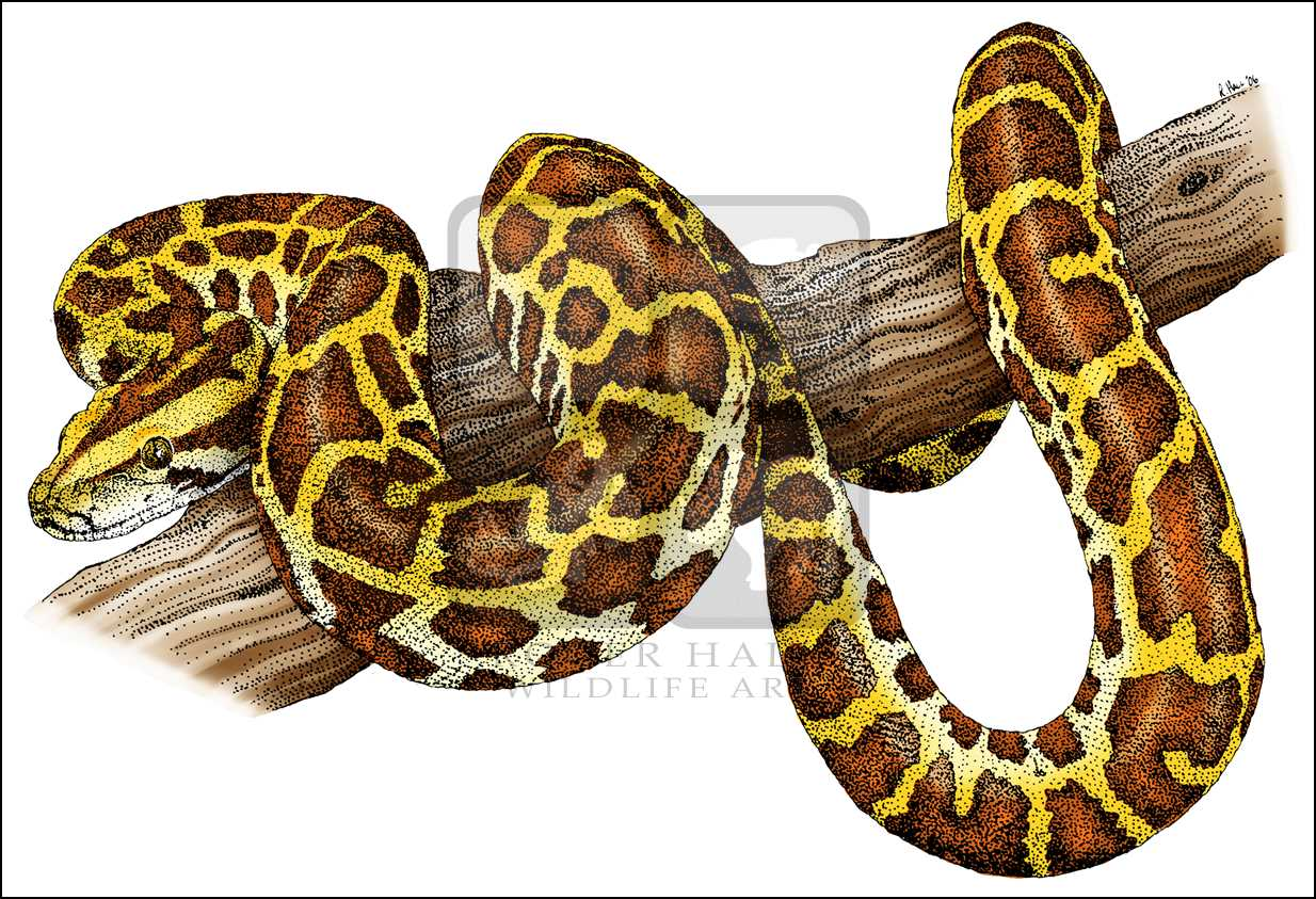 Line Drawing Using Python : Burmese python drawing at getdrawings free for