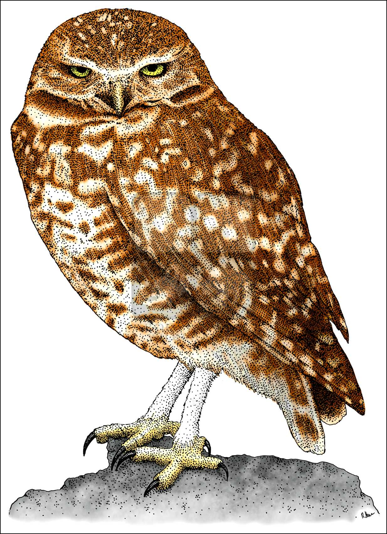 1234x1702 Burrowing Owl (Athene Cunicularia) Line Art And Full Color