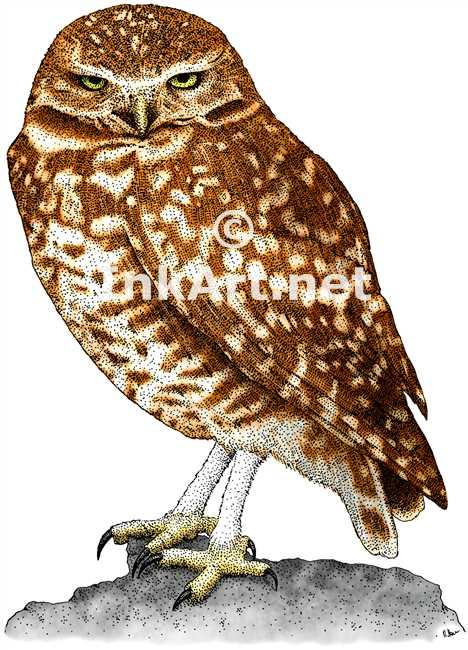 468x650 Burrowing Owl (Athene Cunicularia) Stock Art Illustration