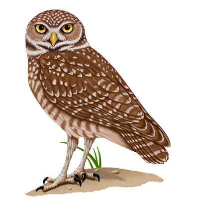 400x400 Burrowing Owl Burrowing Owl Zoo Project