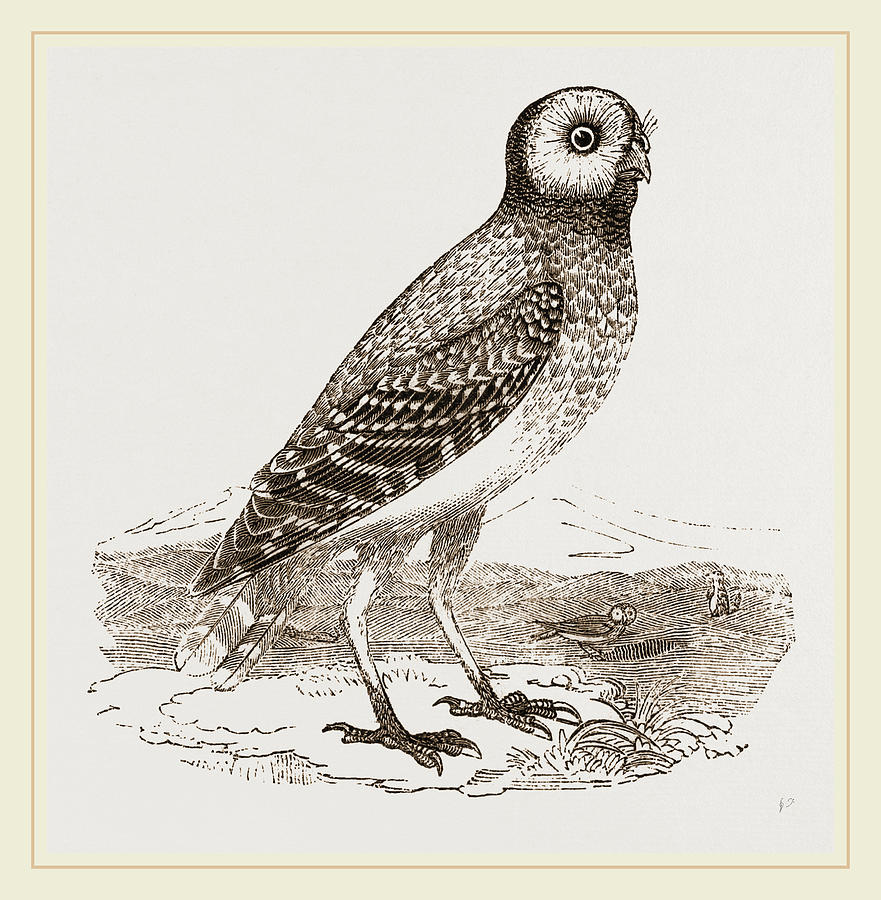 881x900 Burrowing Owl Drawing By Litz Collection