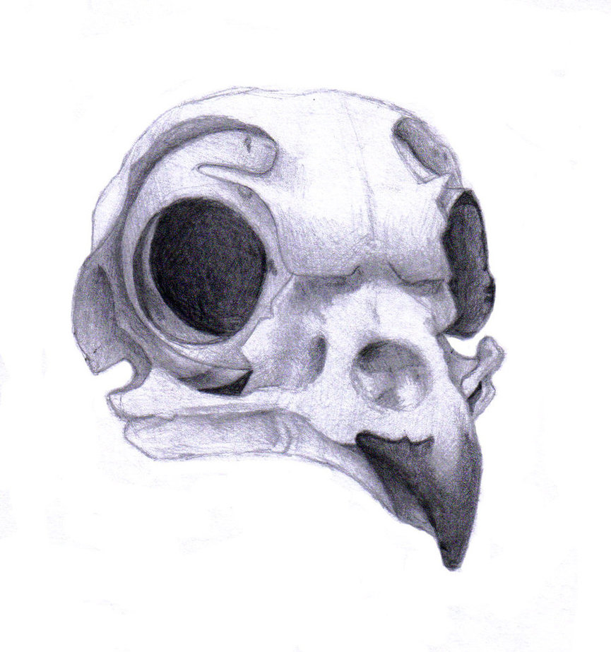 865x923 Burrowing Owl Skull By Rz250