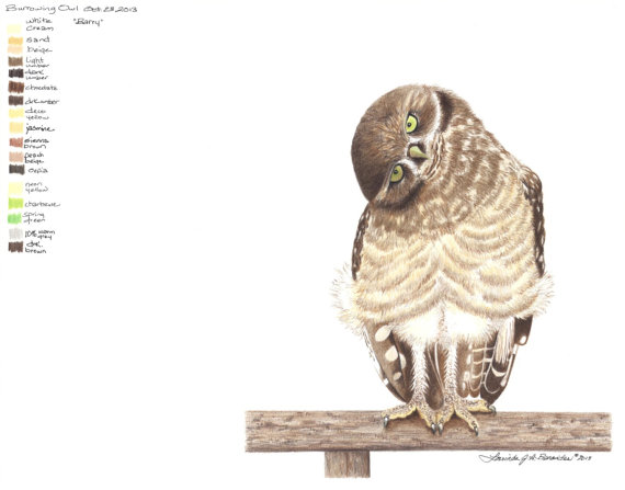 570x447 Burrowing Owl. Colored Pencil Photo Realistic Art Drawing