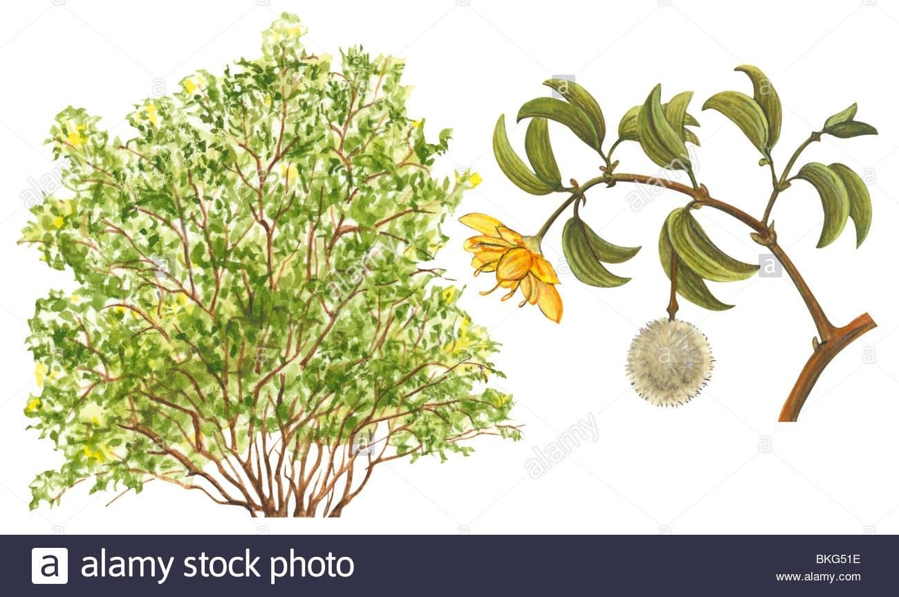 1300x863 Creosote Bush Drawing Simple Living Tree In The World Places