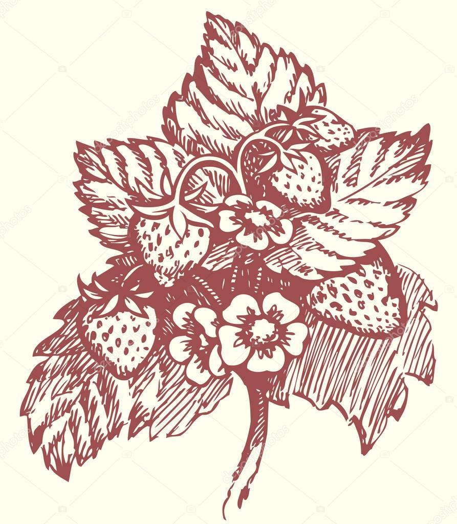 893x1024 Vector Drawing. Strawberry Bush With Flowers And Berries Stock