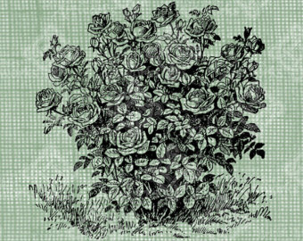 340x270 Rose Bush Drawing