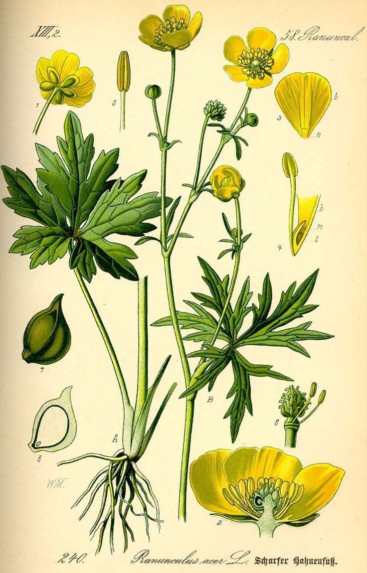 736x1150 37 Best Buttercups! Images On Buttercup, Wild Flowers