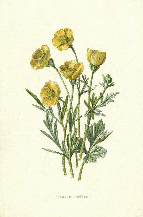 594x900 Bulbous Crowfoot (Buttercup) Drawing By Mary Evans Picture Library