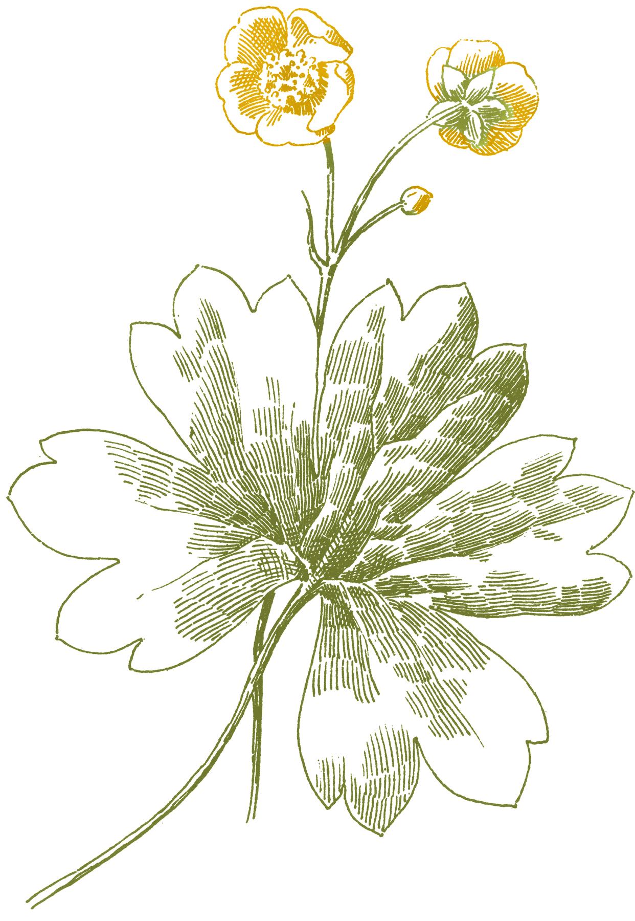 1242x1800 Buttercup Flower Images