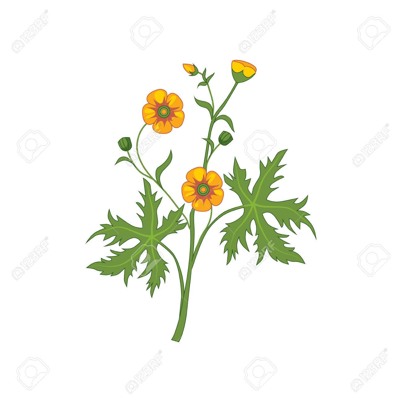 1300x1300 Buttercup Wild Flower Hand Drawn Detailed Illustration. Plant