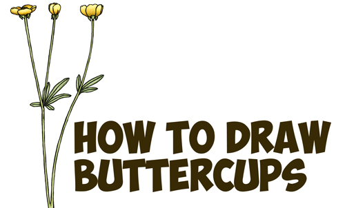 500x302 How To Draw A Buttercup Flower Step By Step Drawing Tutorial