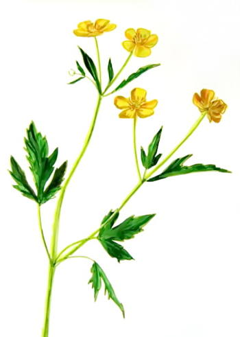 350x491 How To Draw A Buttercup Flower